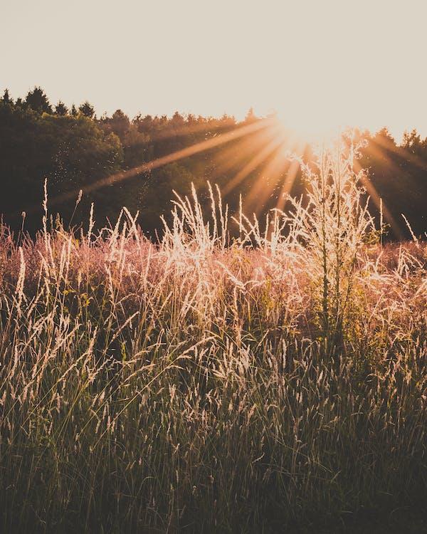 amanecer, arroz, campo de heno
