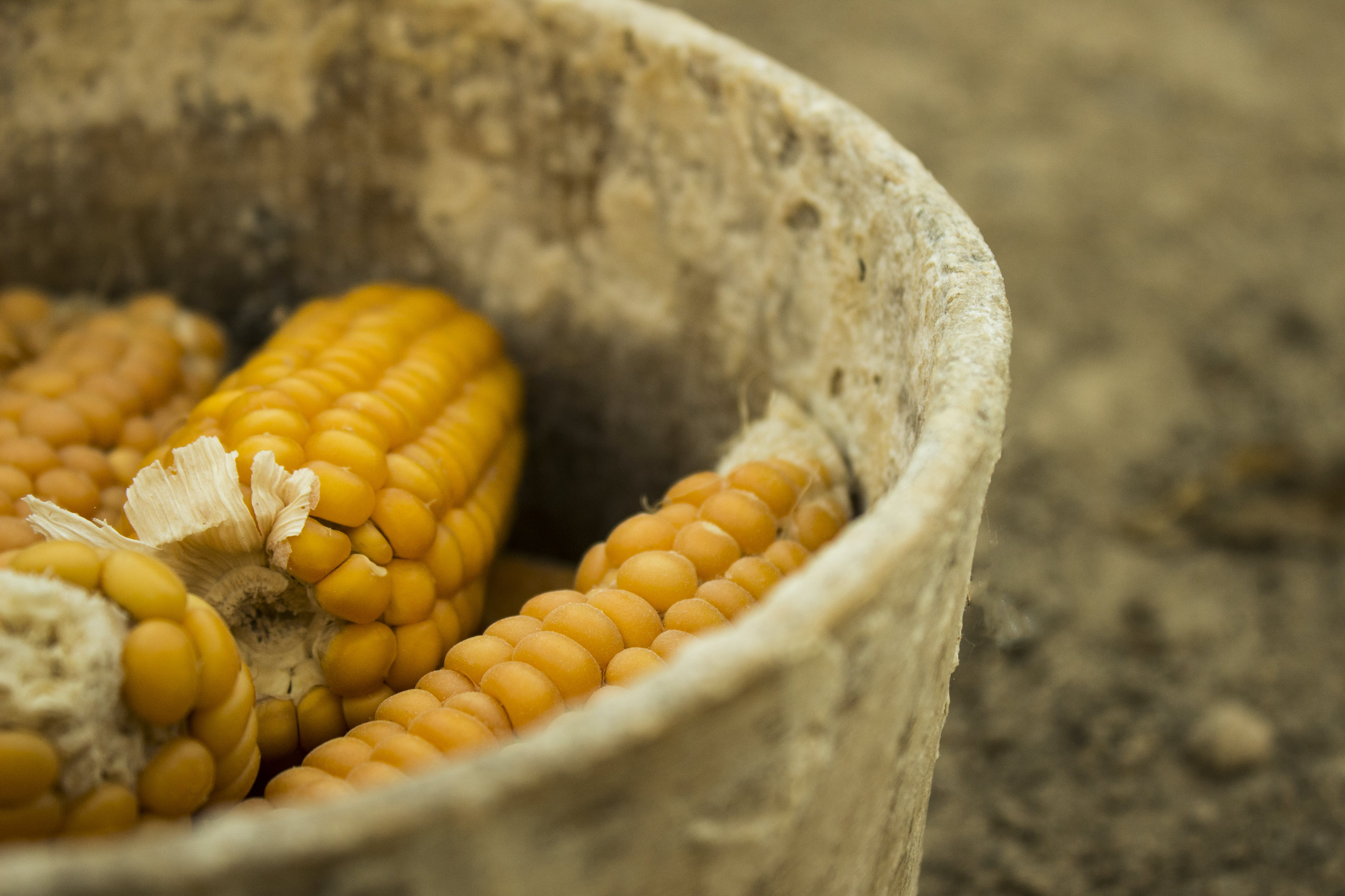 Free stock photo of corn, corny, old, old plate