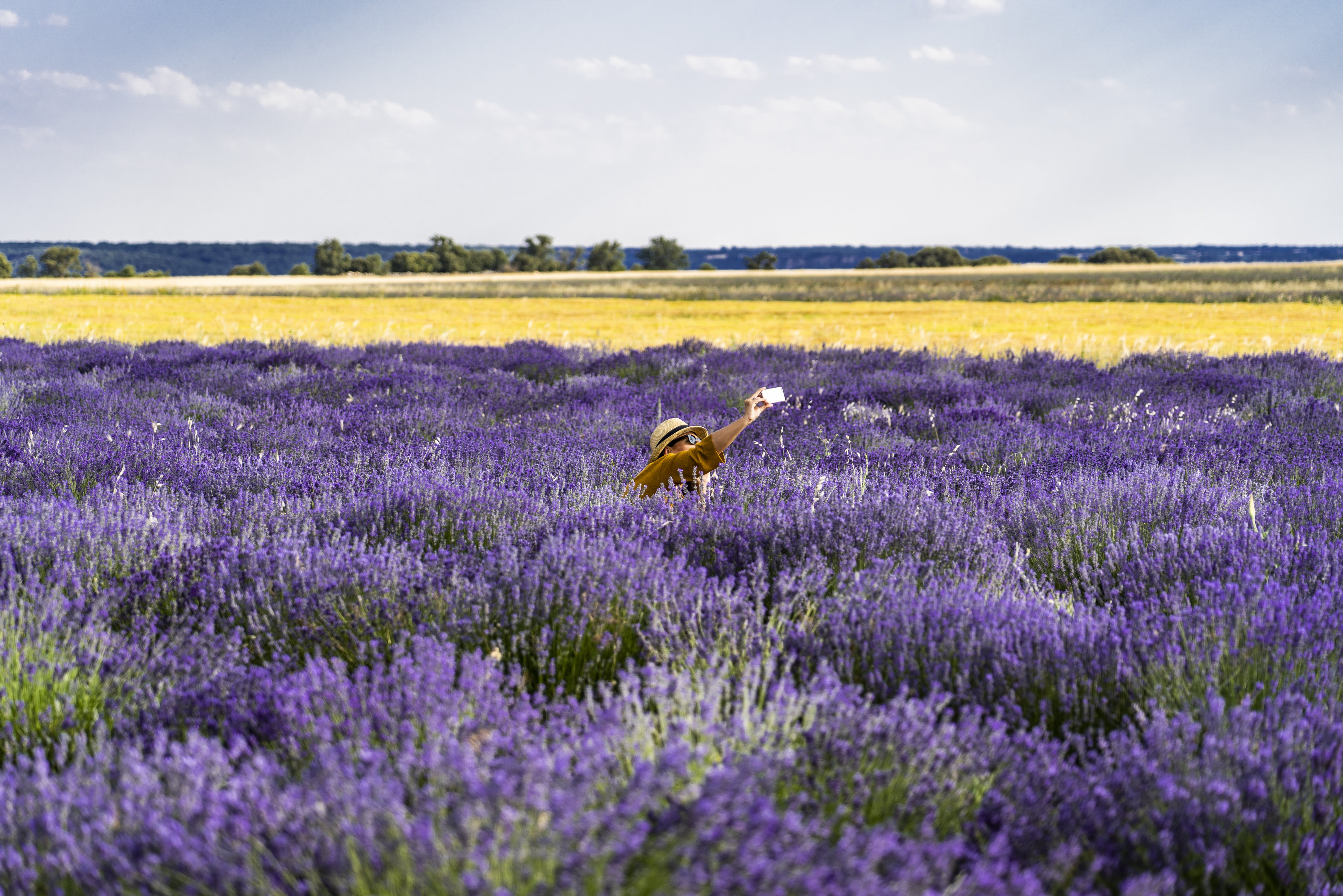 Photo Of Bed Of Lavender Flowers