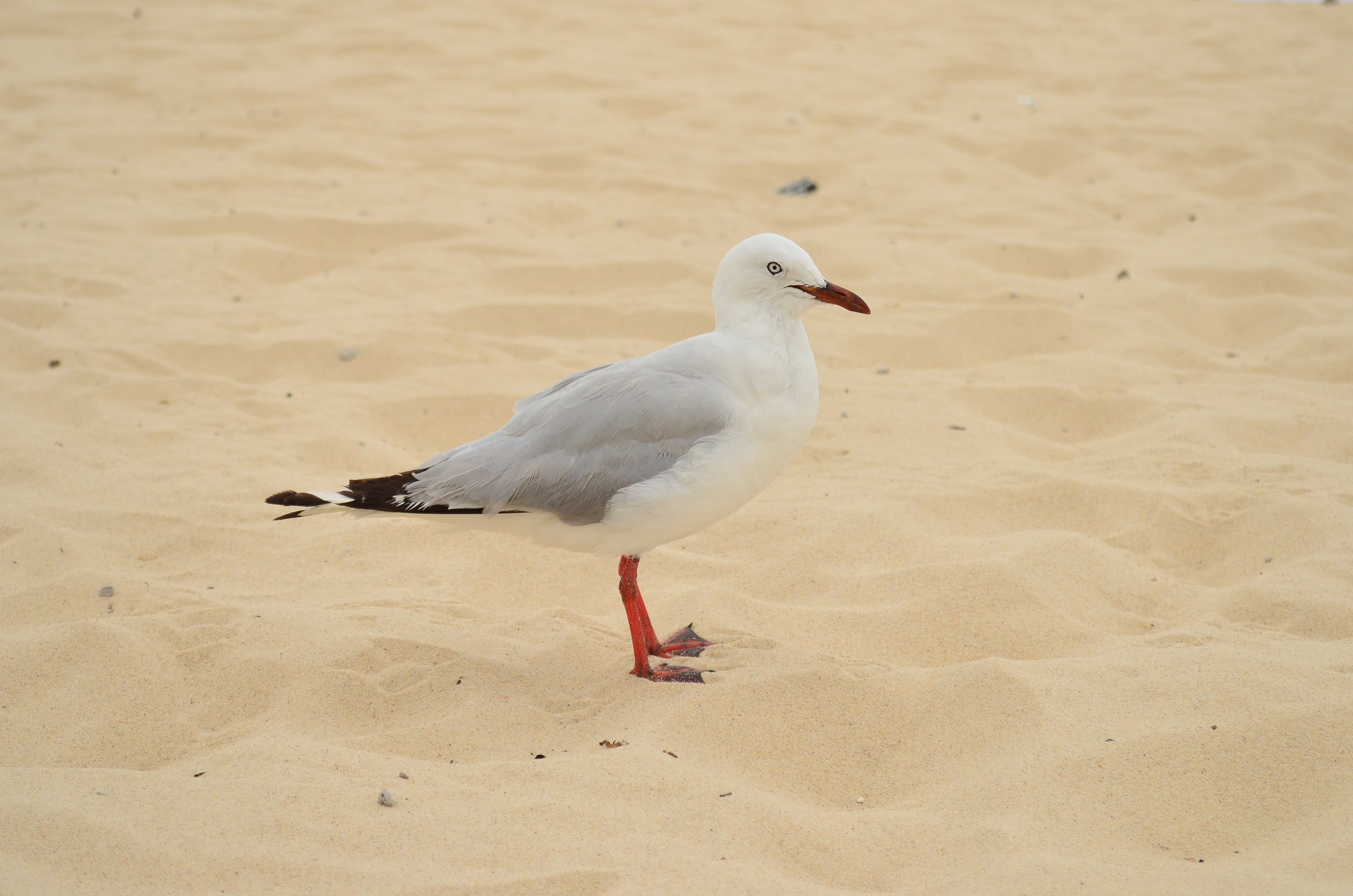 Selective Focus Photo Of Ring-billed Gull