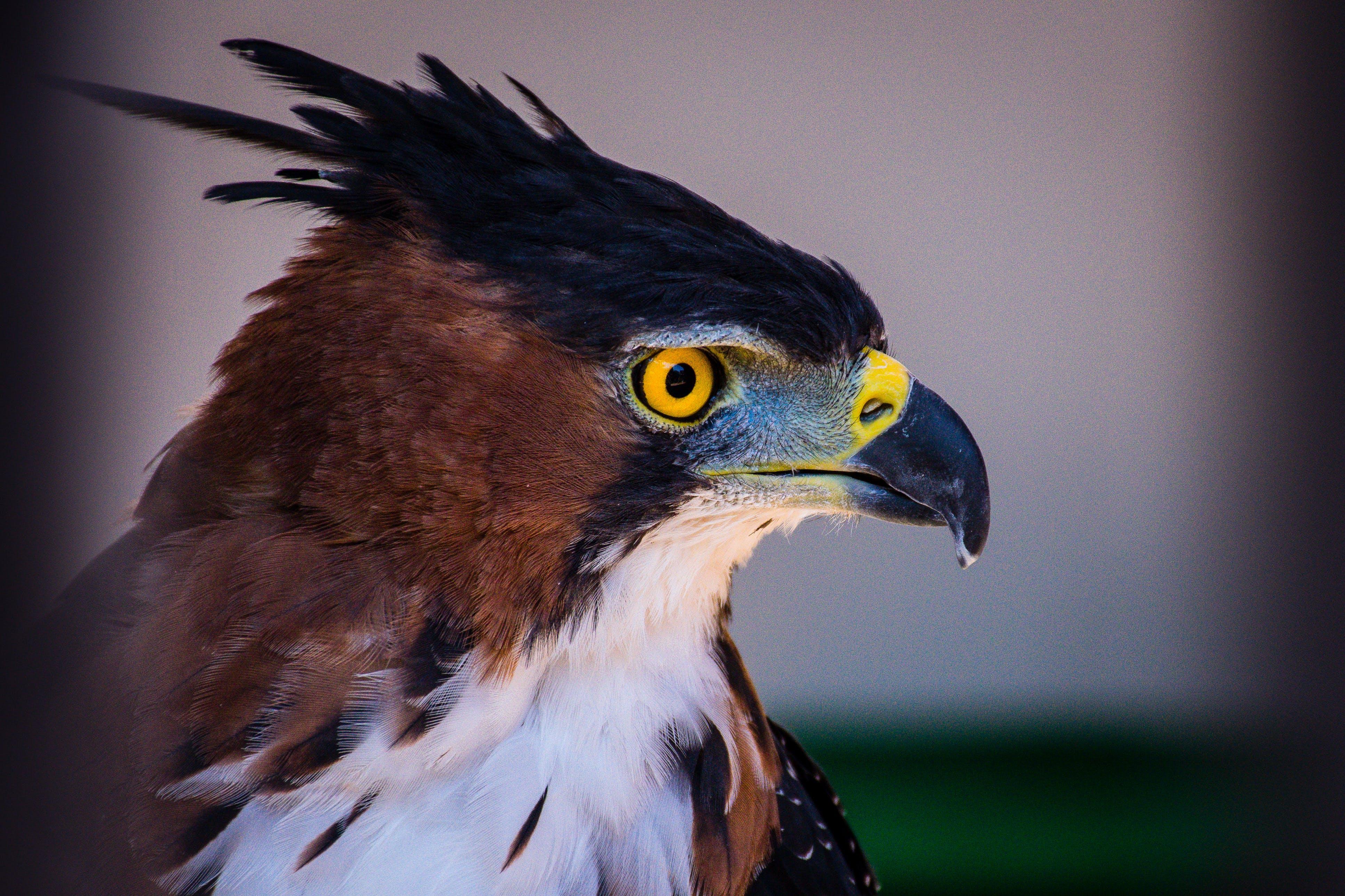 hayvan, kartal, kuş tüyleri, kuş tüyü içeren Ücretsiz stok fotoğraf
