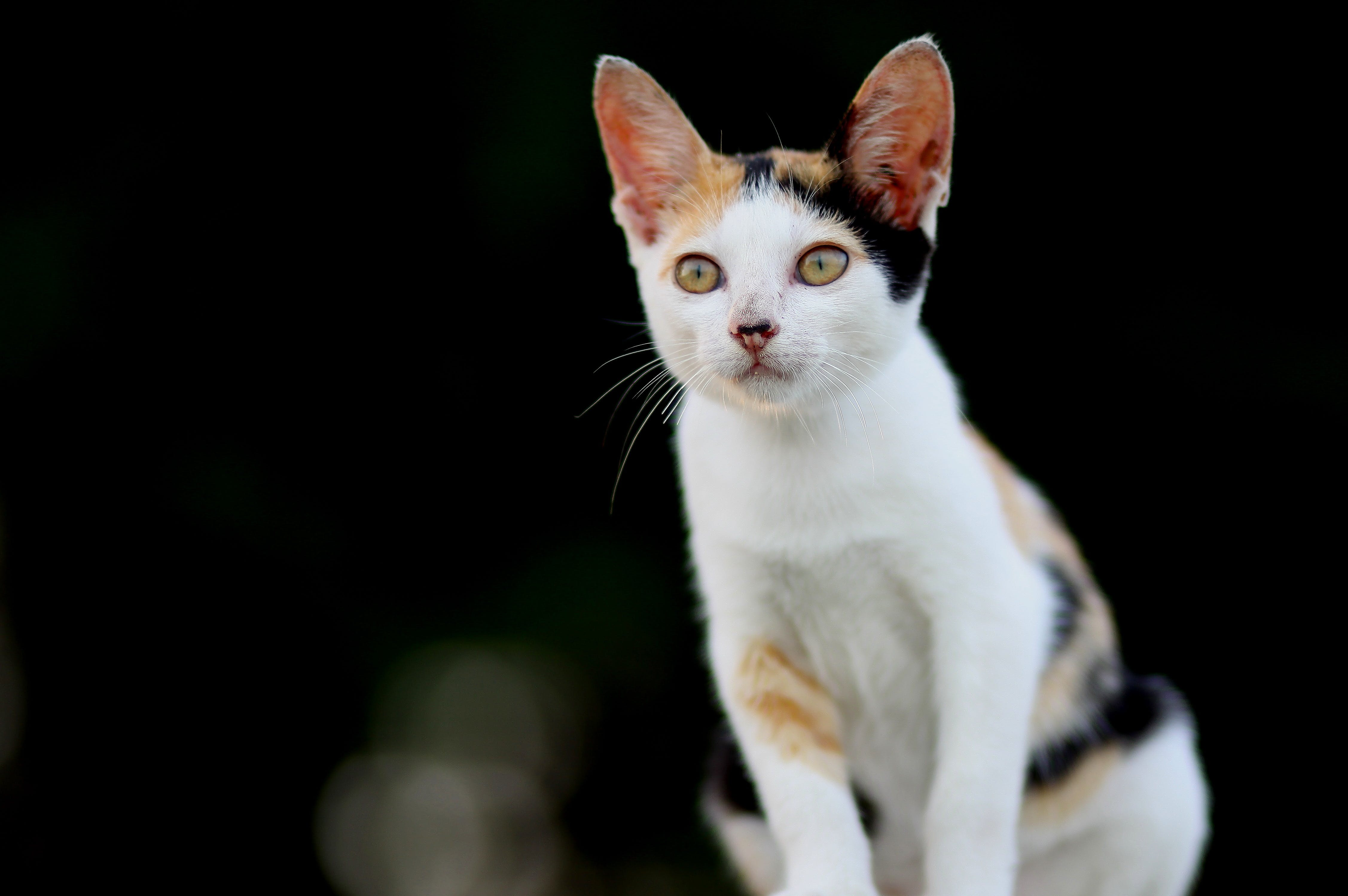 Adult White and Yellow Cat