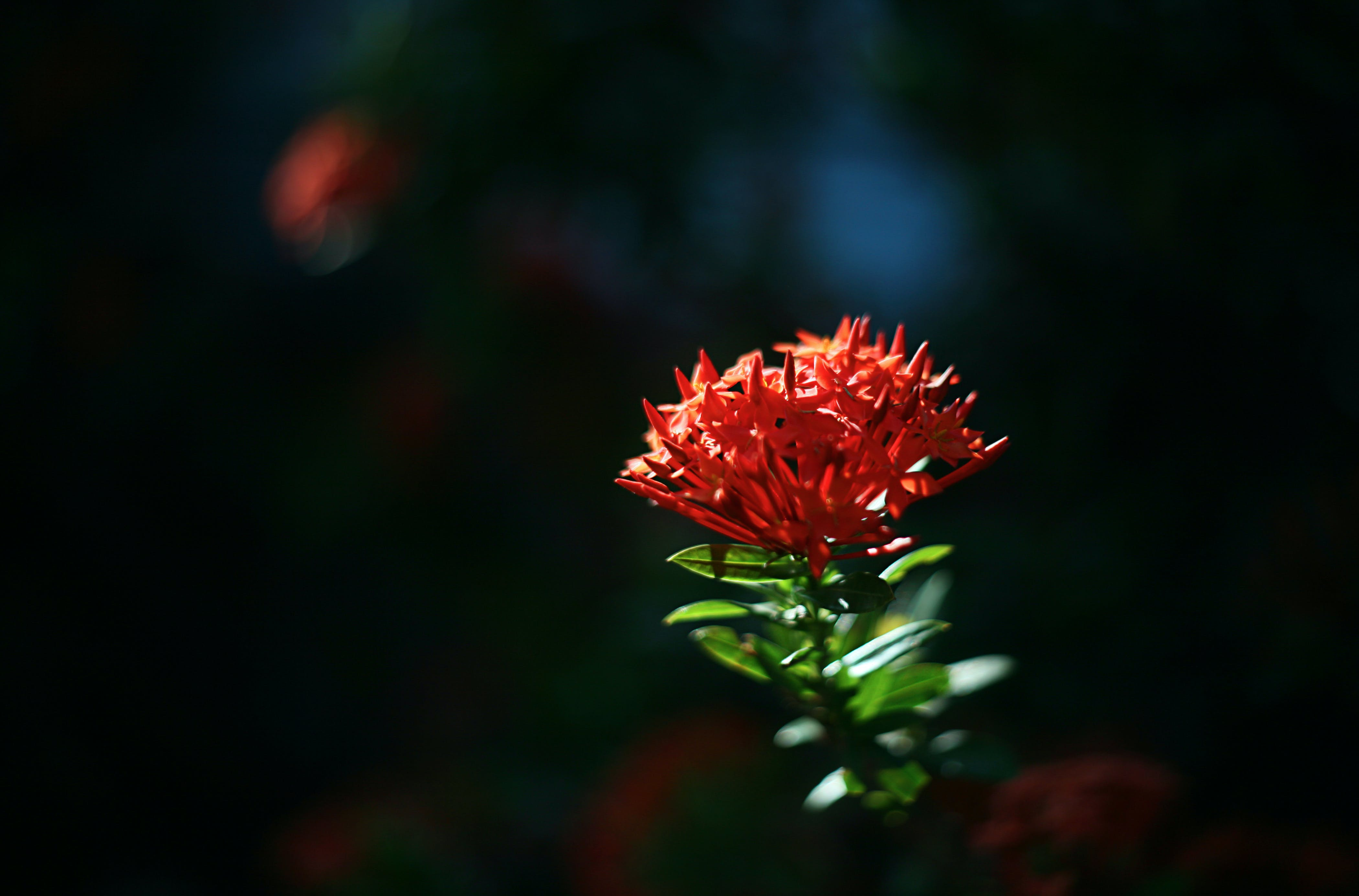 Closeup Photo of Ixora Flower