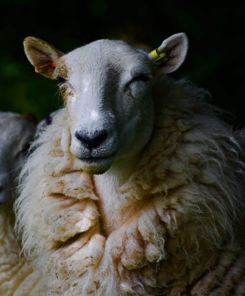 Shallow Focus of Sheep