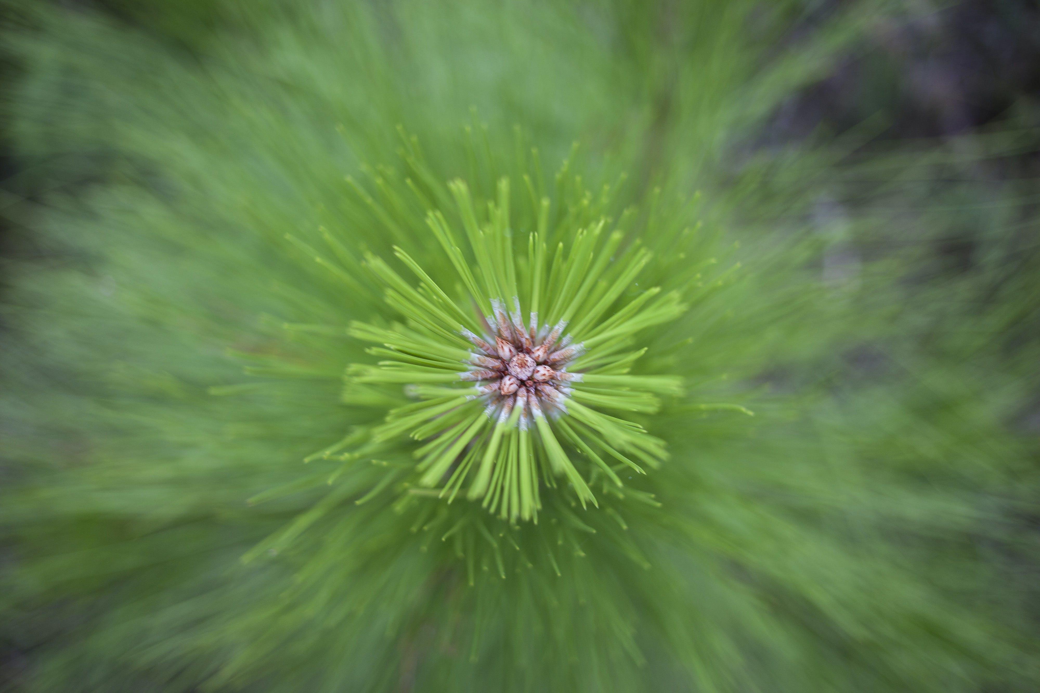 Základová fotografie zdarma na téma borovice, strom