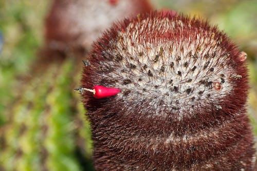 Бесплатное стоковое фото с цветок кактуса