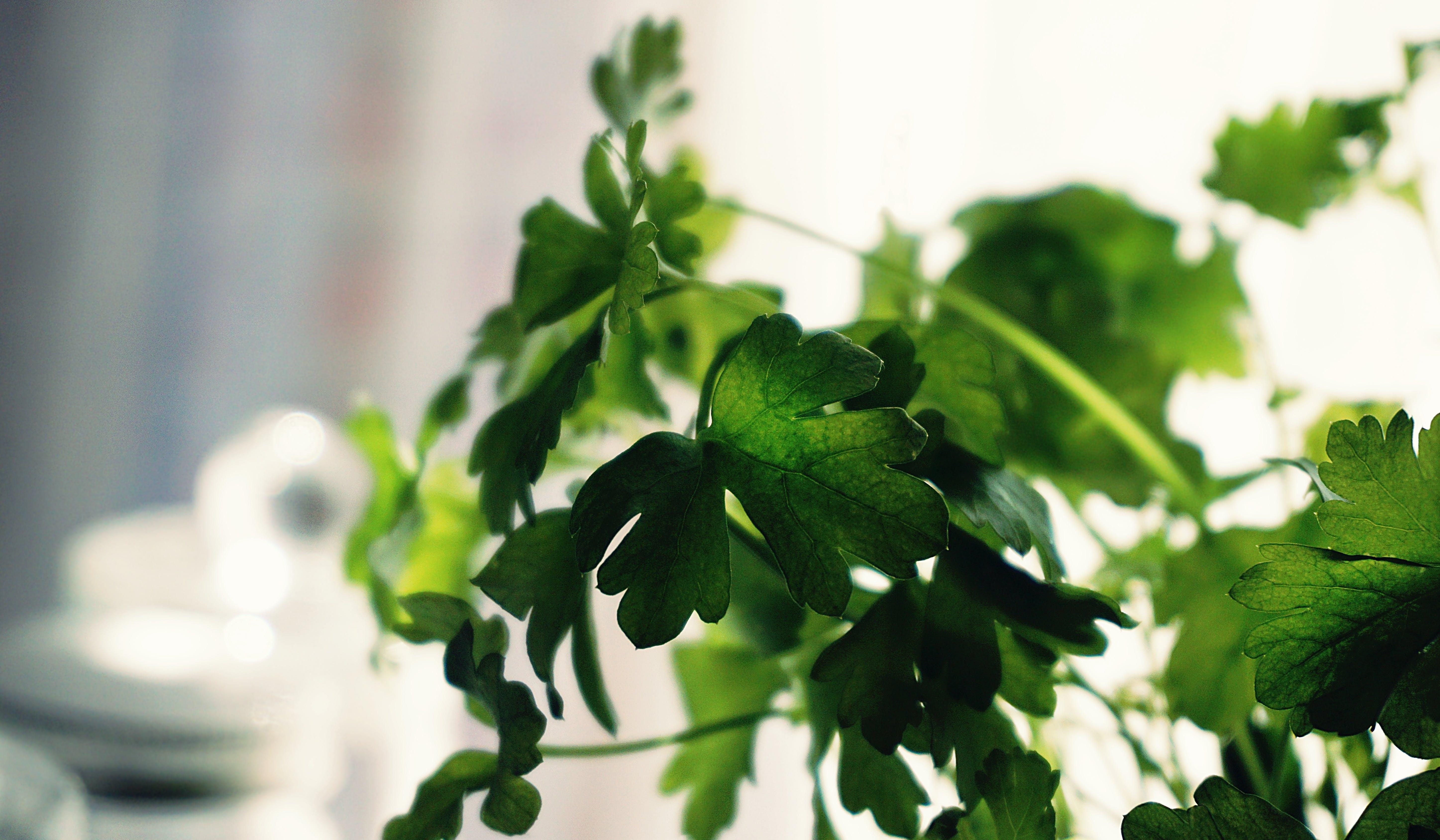 Imagine de stoc gratuită din coriandru, estompare, floră, fotografie de aproape