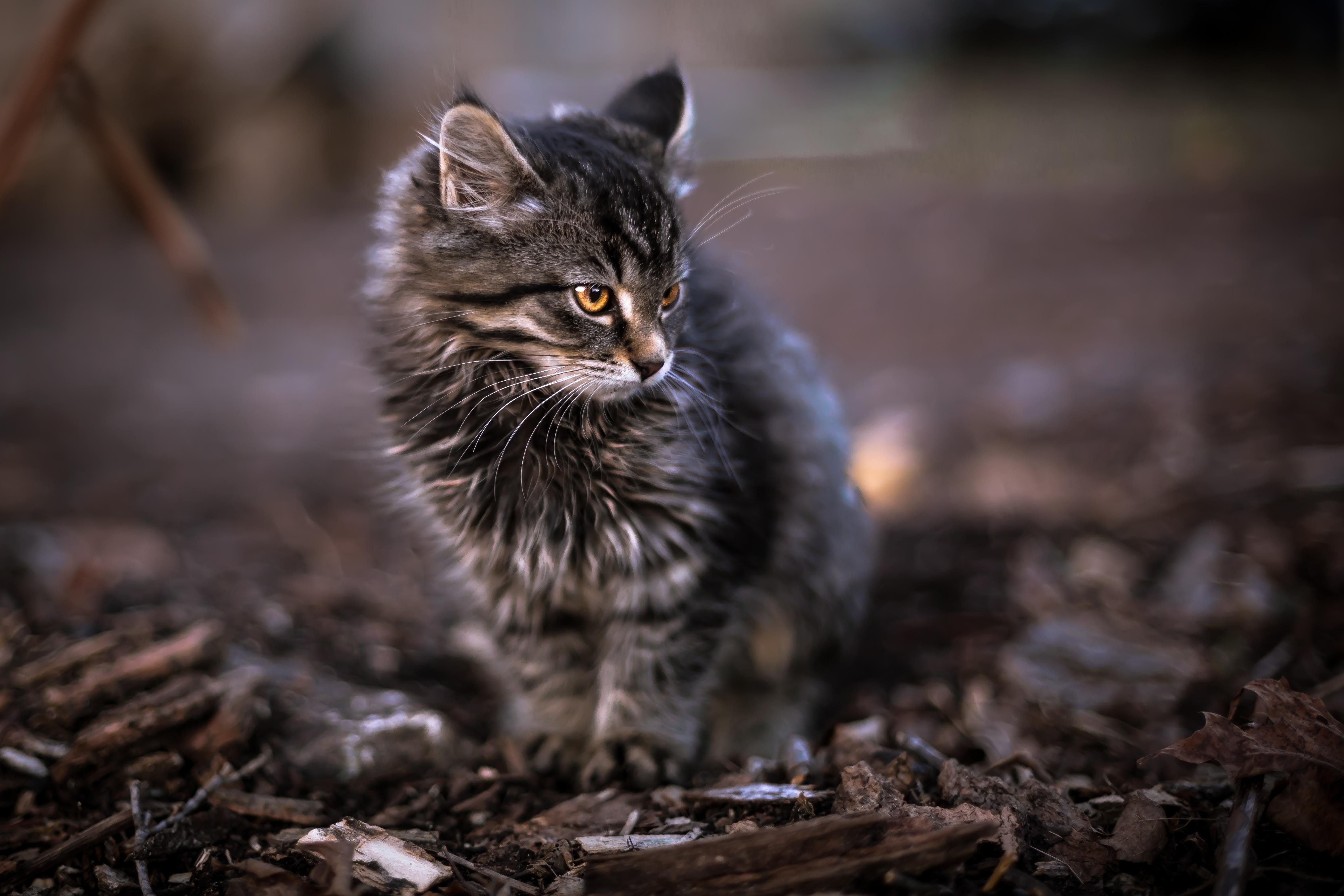 Brown Tabby Cat Stepping on Brown Dirt