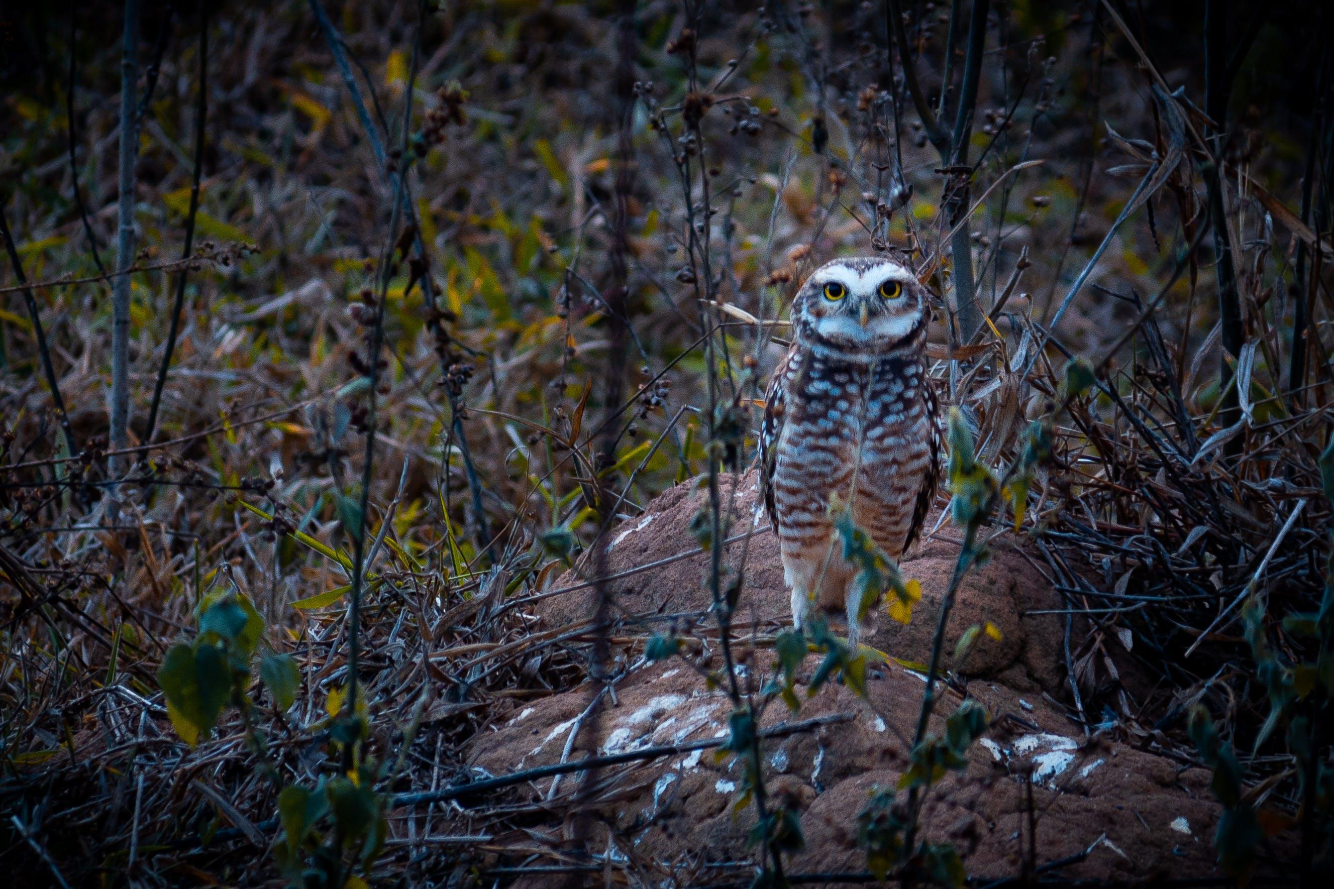 Free stock photo of coruja, owl