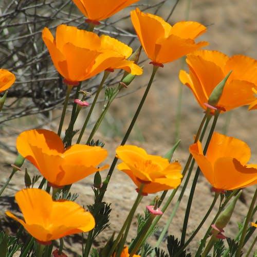 Free stock photo of wild poppies