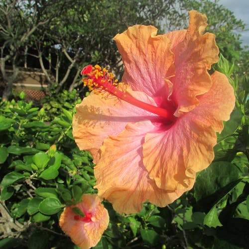 Free stock photo of lovely hibiscus