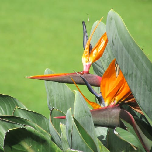 Free stock photo of bird of paradise