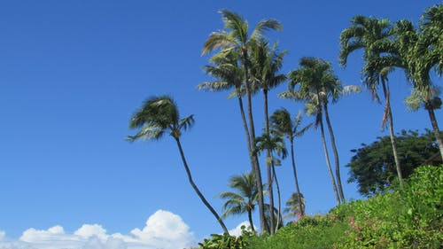 Free stock photo of the palms at Napili Bay Resort