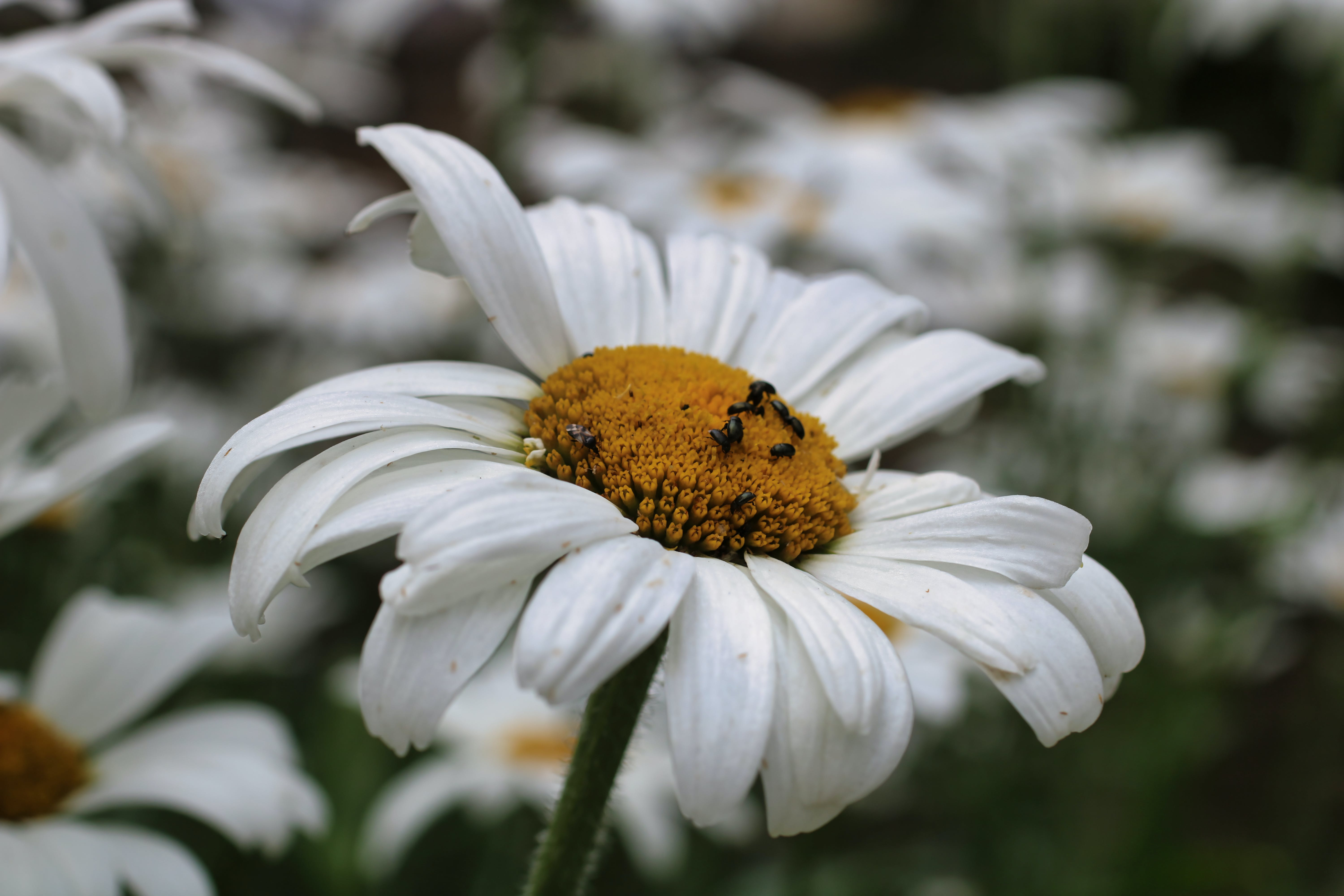 Free stock photo of bugs, common daisy, daisies, dasiy