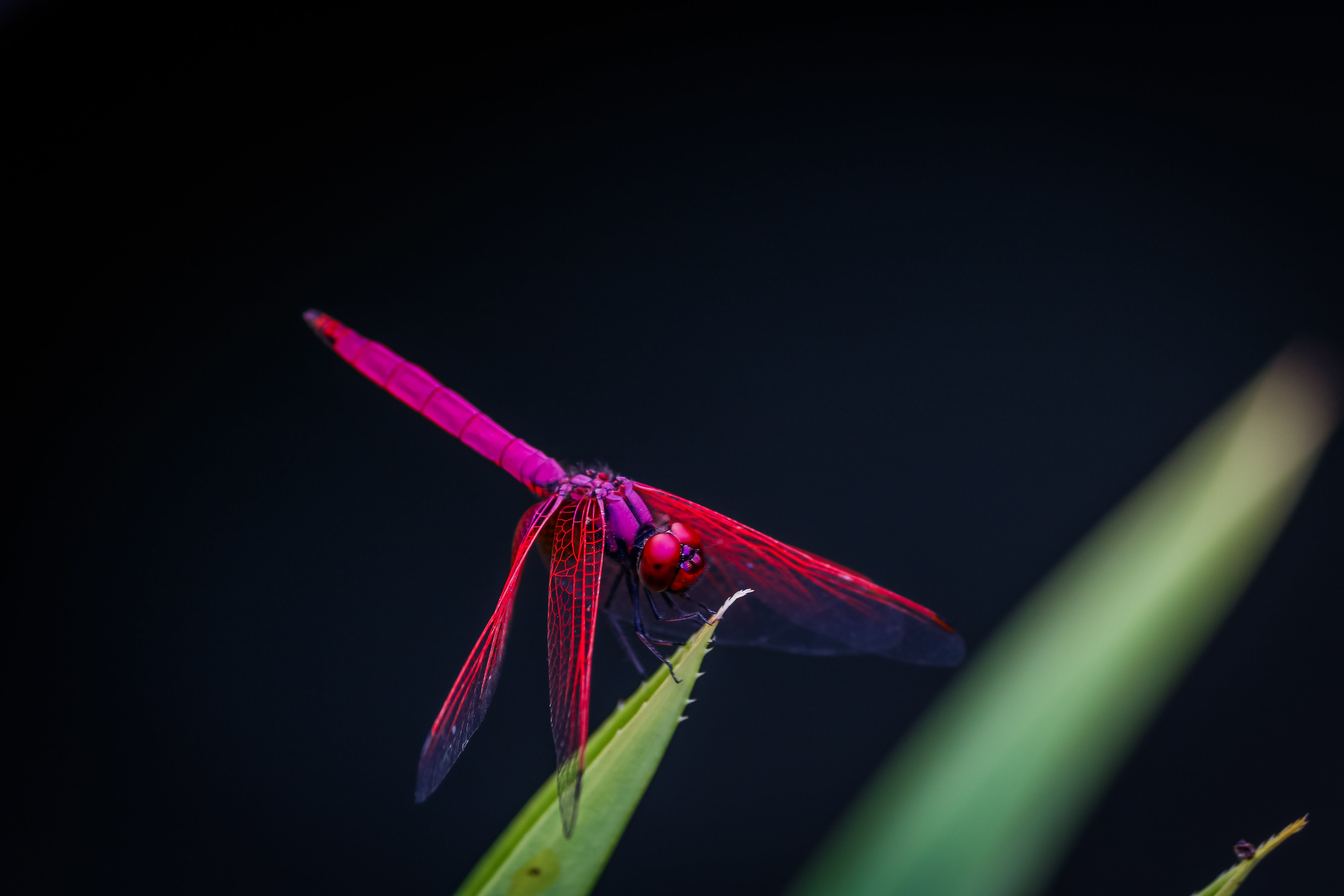 Red Dragonfly Perched on Leaf