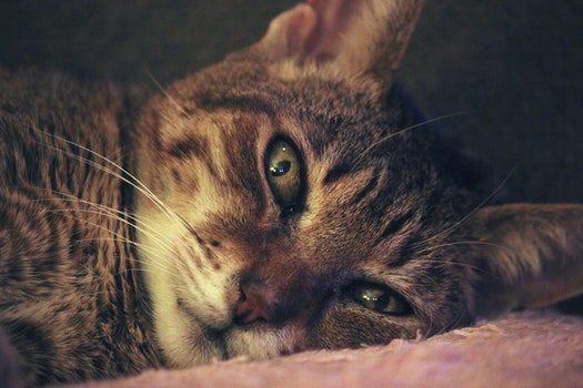 Brown Tabby Cat Laying on Pink Textile