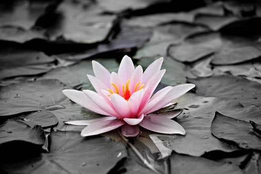 1000 beautiful lotus flower photos pexels free stock photos pink and white lotus flower mightylinksfo
