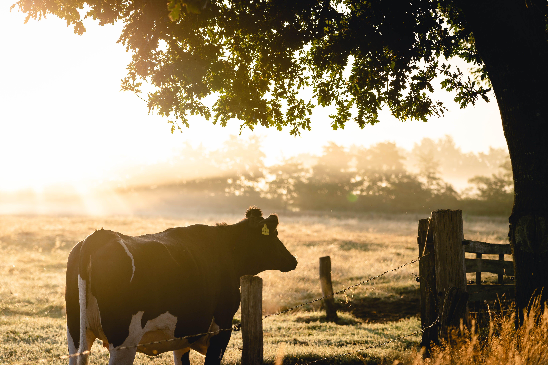 vaca al atardecer en el campo