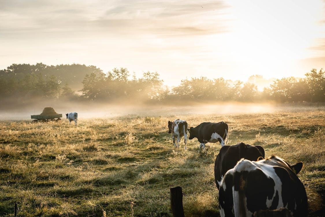 bầy đàn, bình Minh, bò cái