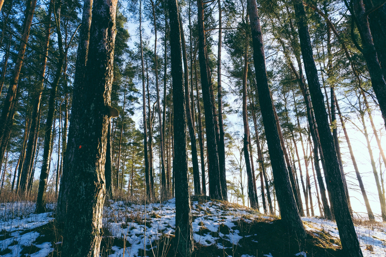 Ilmainen kuvapankkikuva tunnisteilla flunssa, havupuut, lumi, luonto