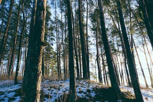 Gratis stockfoto met bomen, Boomstammen, bossen, coniferen
