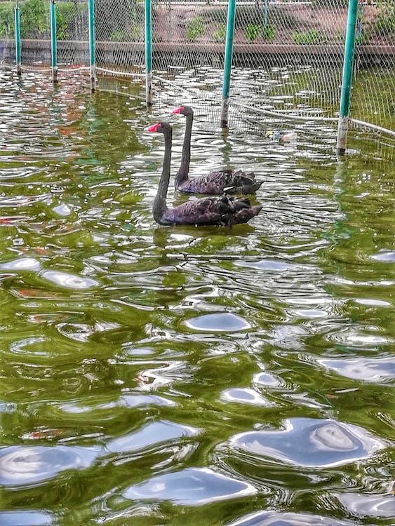 mutter natur, schwarzer schwan
