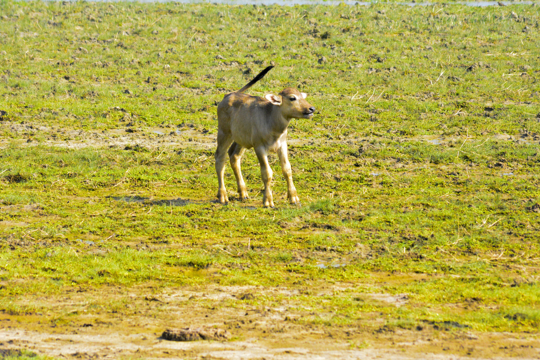 Free stock photo of bull, bull baby, wildlife, wildlife photography