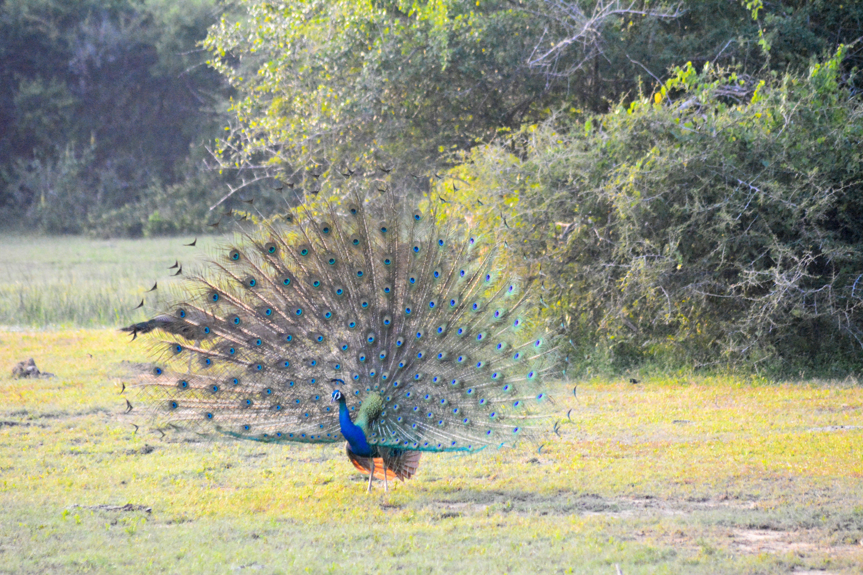 Free stock photo of sri lanka, wild bird, wildlife, wildlife photography