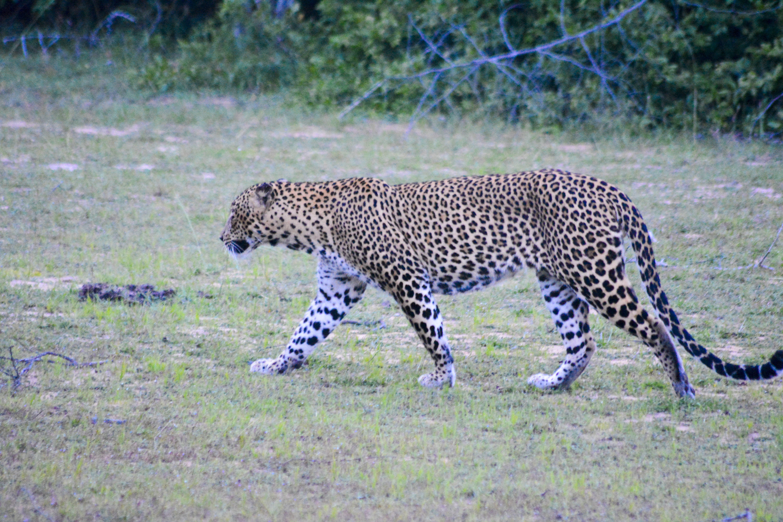 Free stock photo of leopard, Srilanka, wildlife, wildlife photography