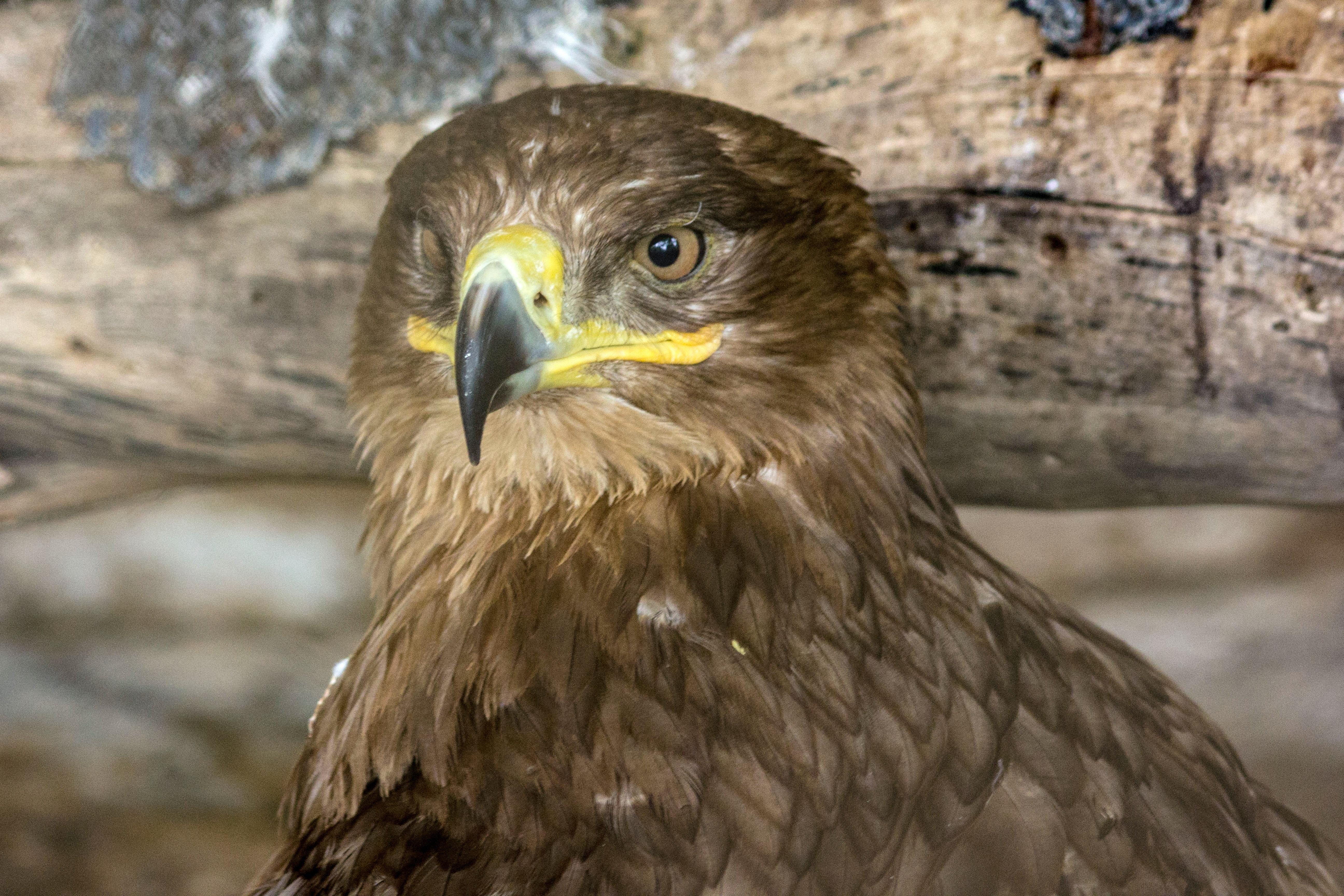Foto Stok Gratis Tentang Burung Burung Eagle Eagles Bird Birdphotography Berbahaya