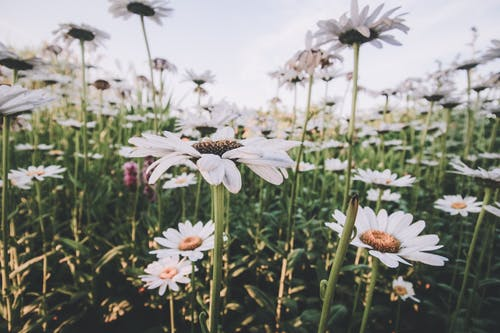 Foto profissional grátis de bonita, broto, campo de flores, de flores