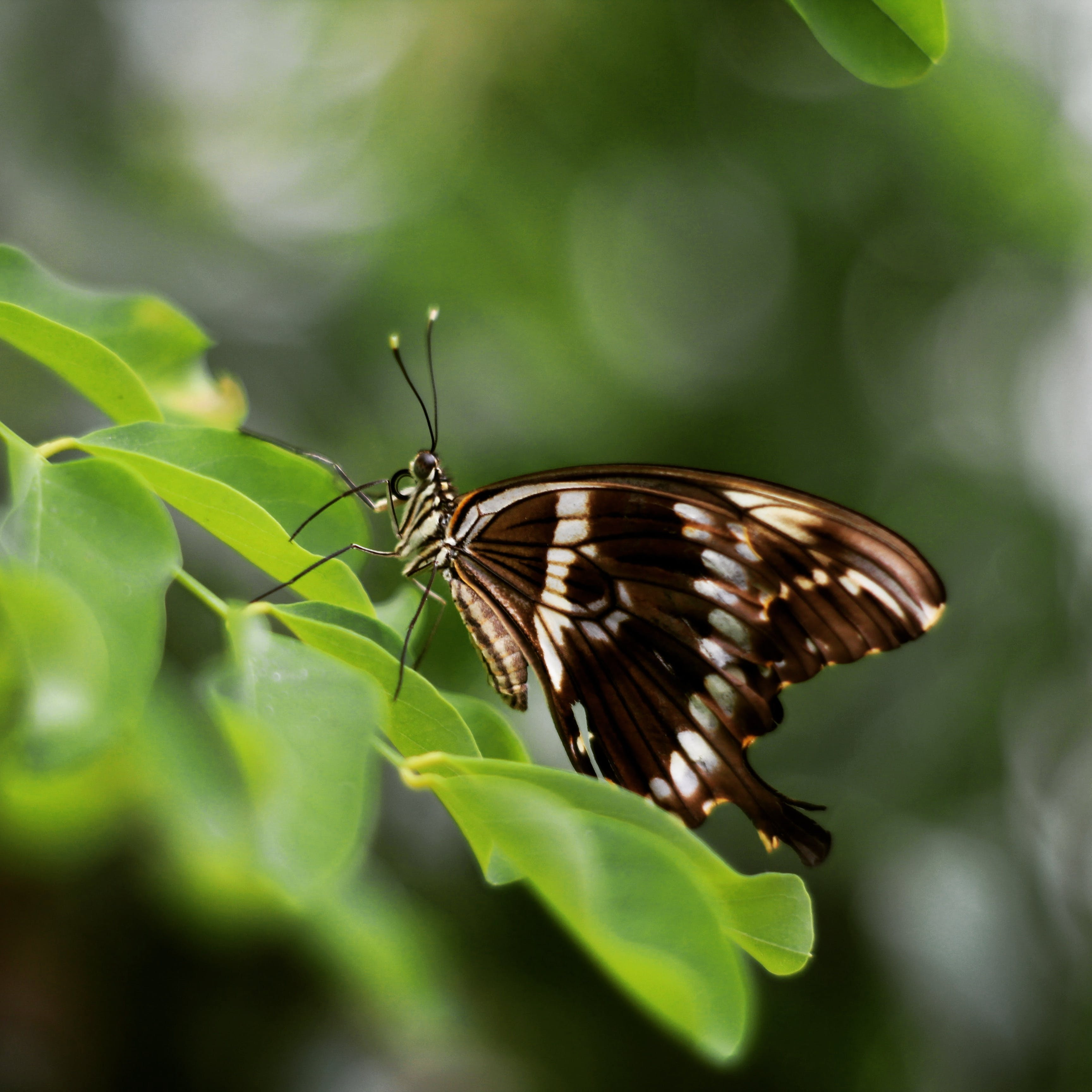 Free stock photo of #butterfly #nature #wildlife #brown #leaves