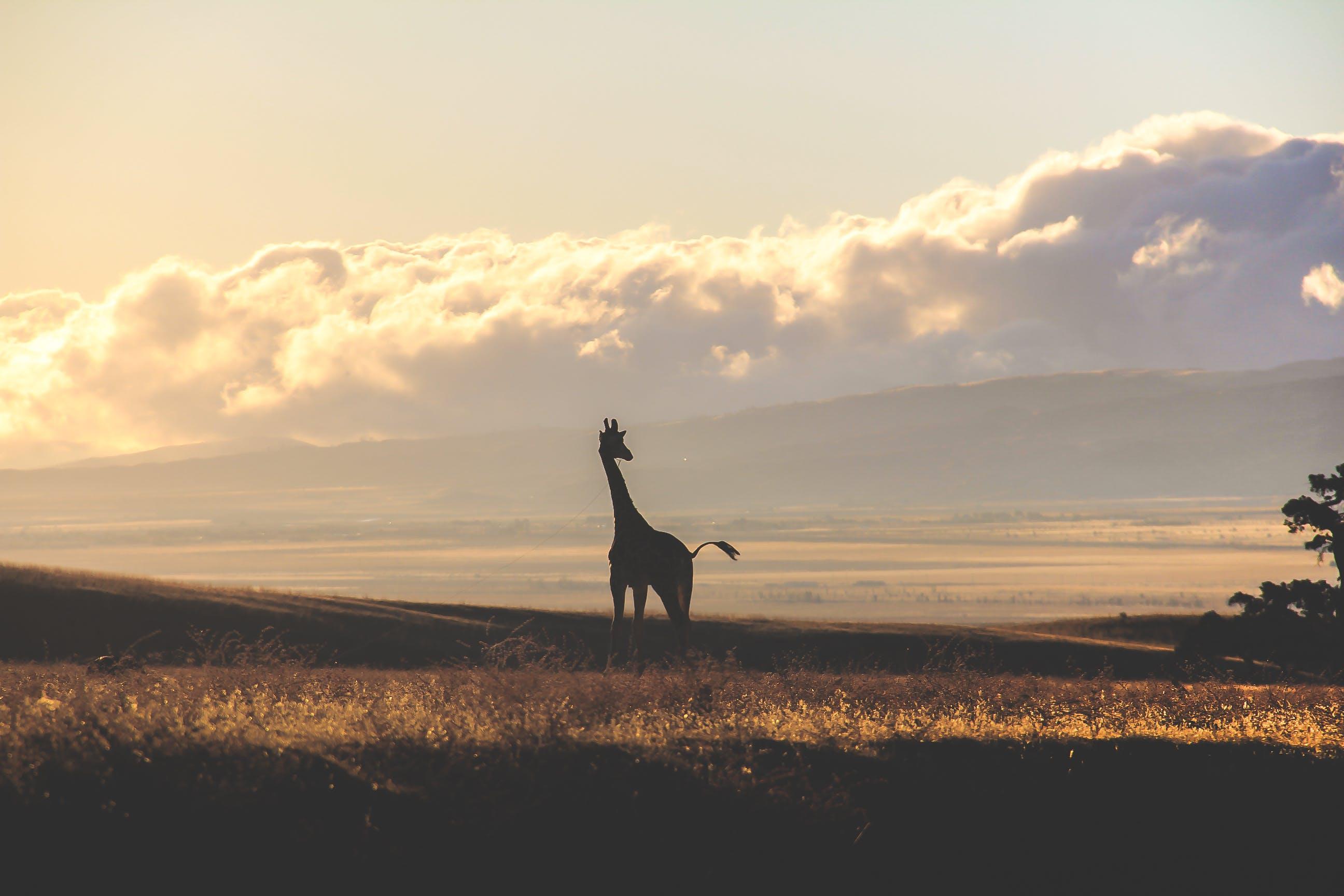 Free stock photo of animals, giraffe, savanna, wilderness