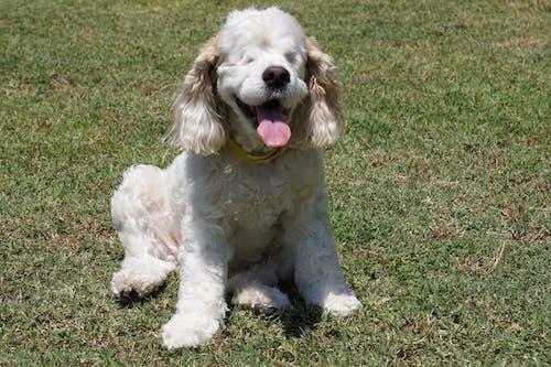 Free stock photo of blind, blind dog, cocker spaniel, dog
