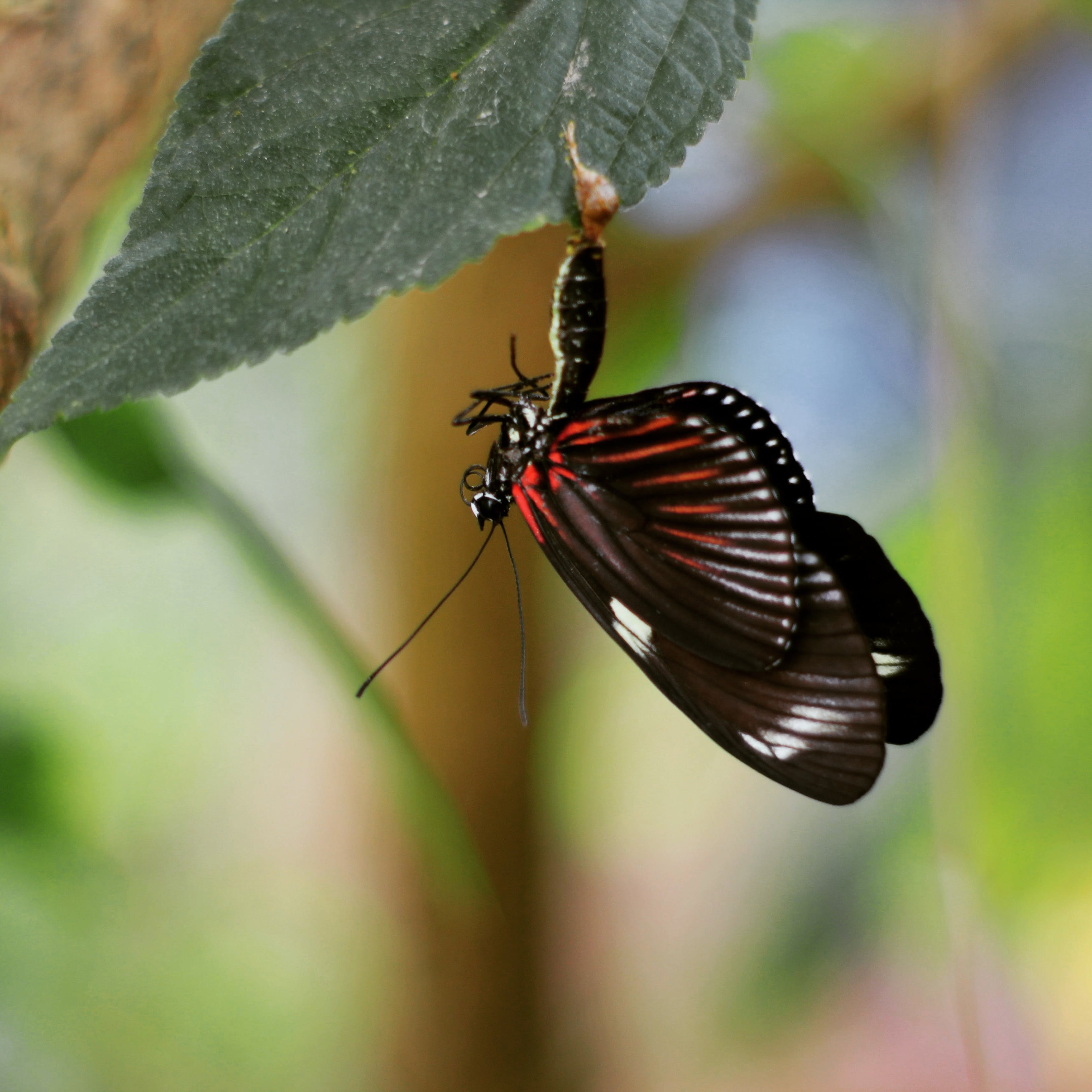 Free stock photo of #butterfly #chrysalis #wildlife #nature