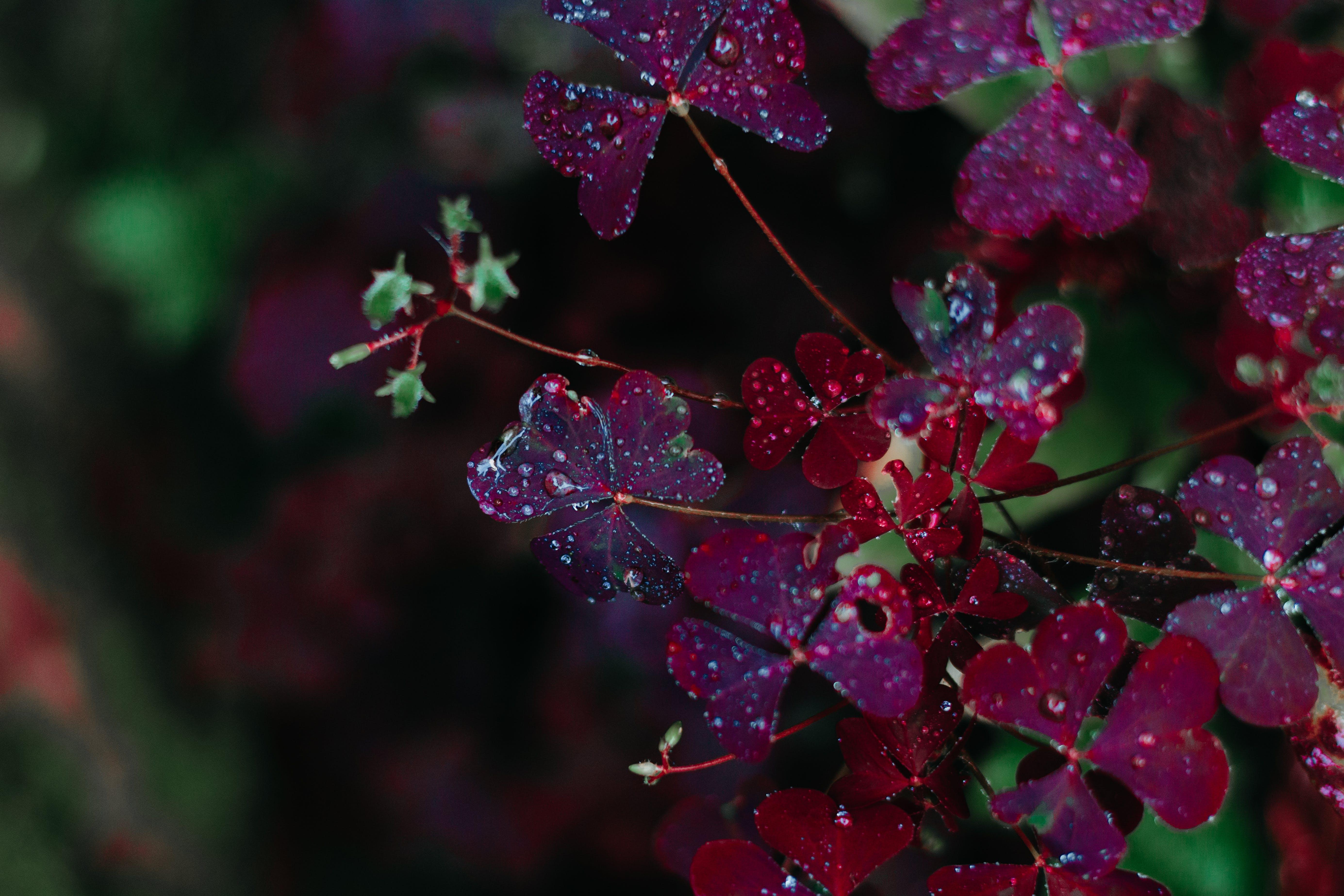 Closeup Photo of Maroon Petaled Flowers
