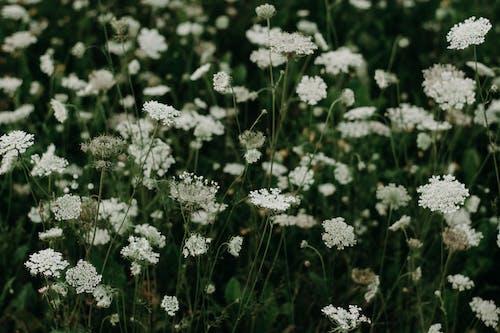 Kostnadsfri bild av anläggning, blommor, blomning, fält