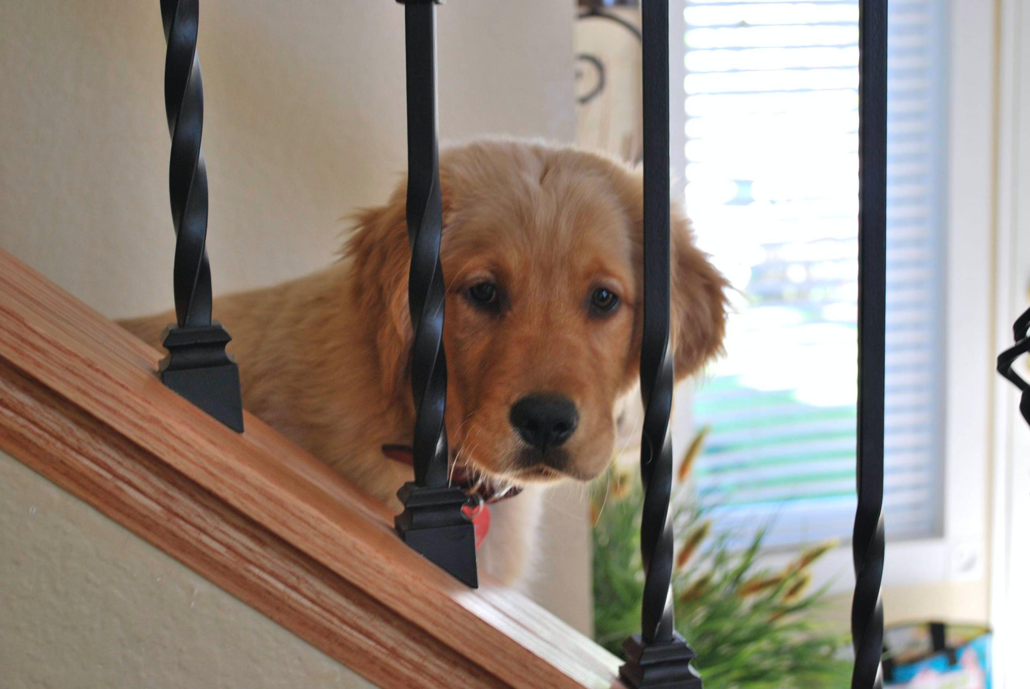 golden retriever, inside, puppy
