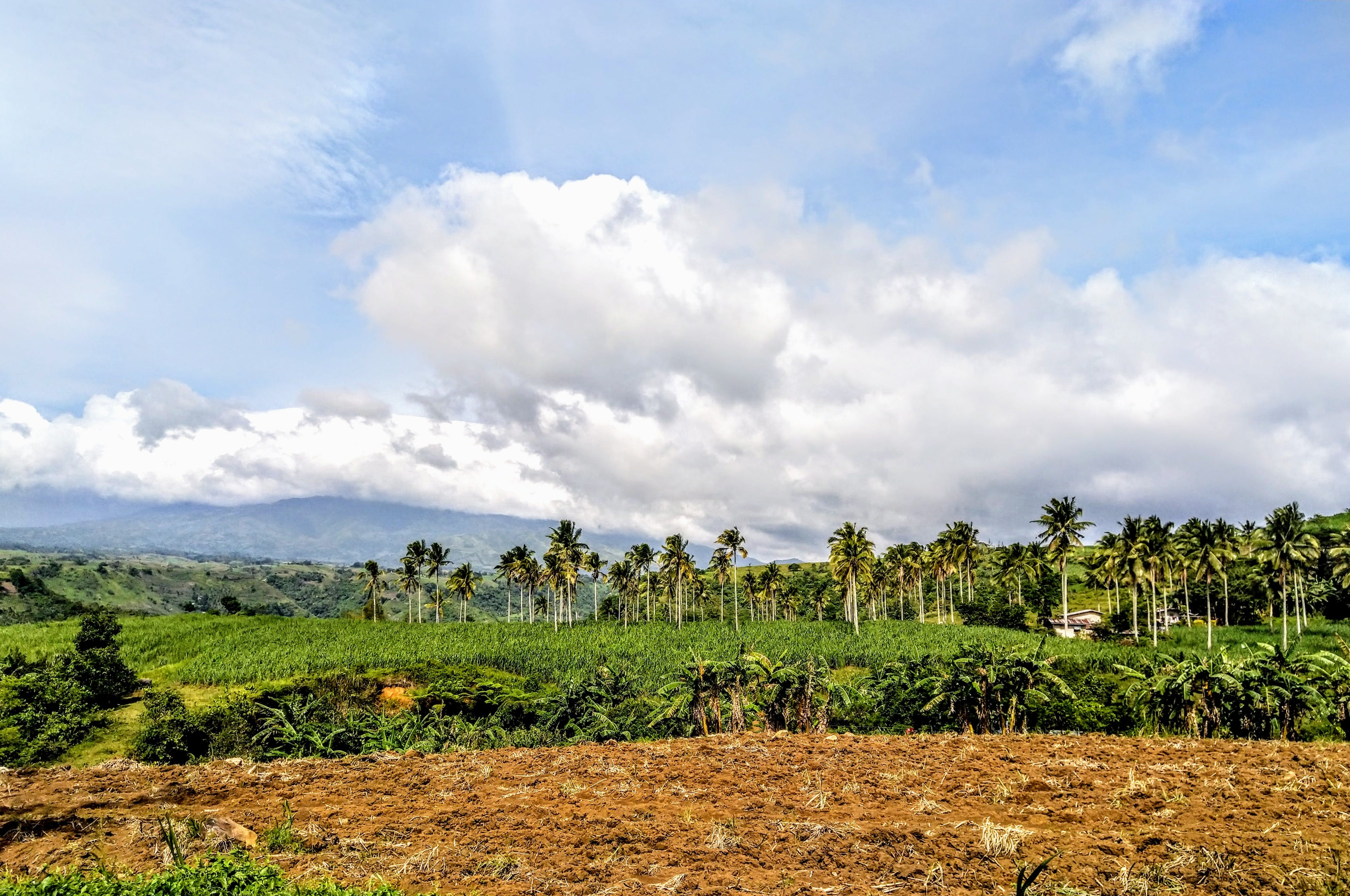 Free stock photo of agricultural field, agricultural land, coconut farm, coconut trees