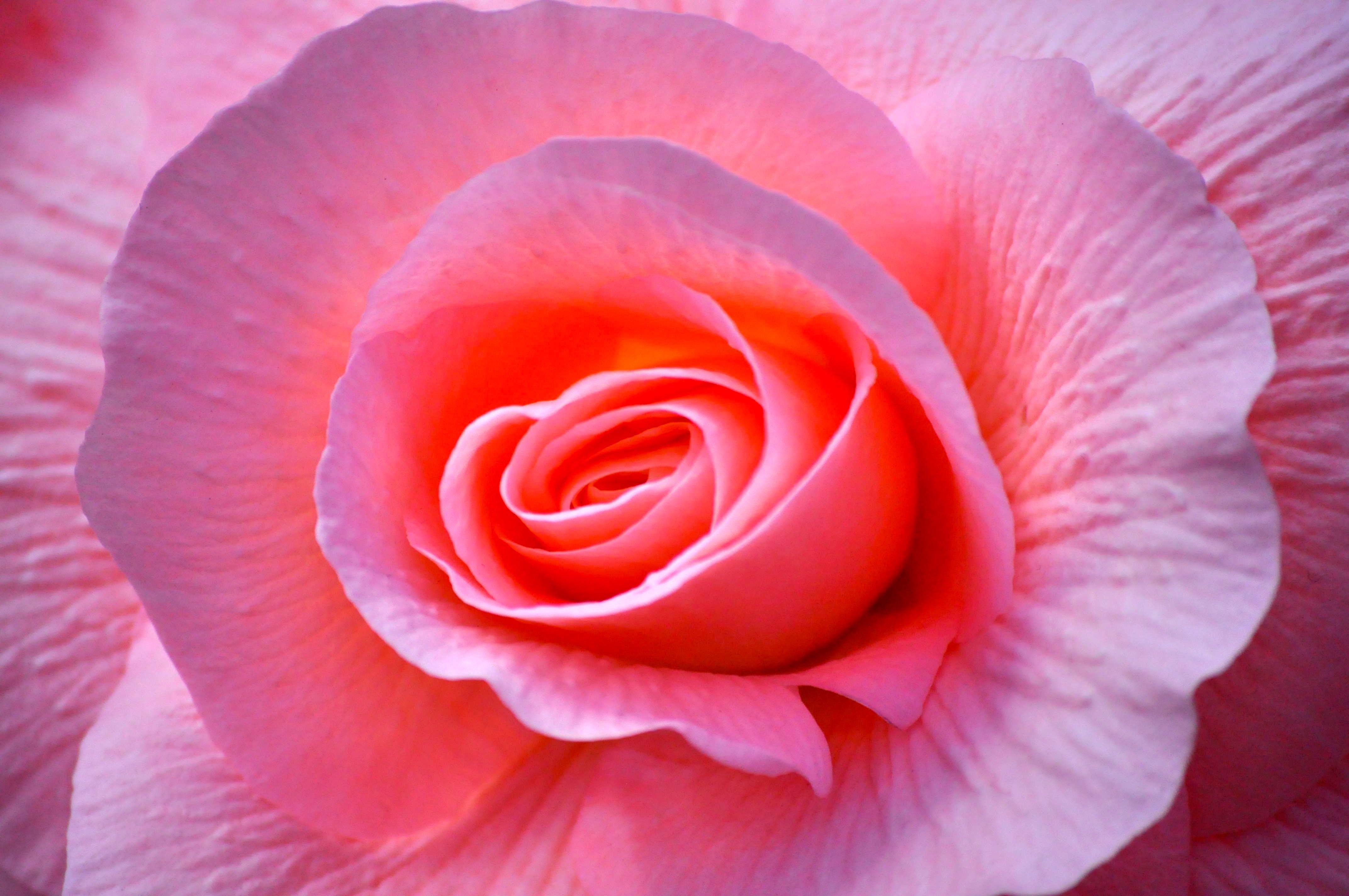 Free stock photo of beautiful flowers, begonia, flora, pink flowers