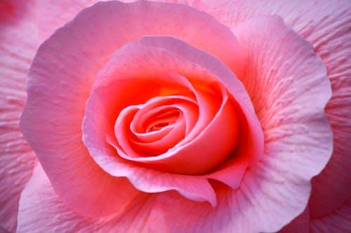 Photos gratuites de bégonia, fleurs roses, flore, magnifiques fleurs