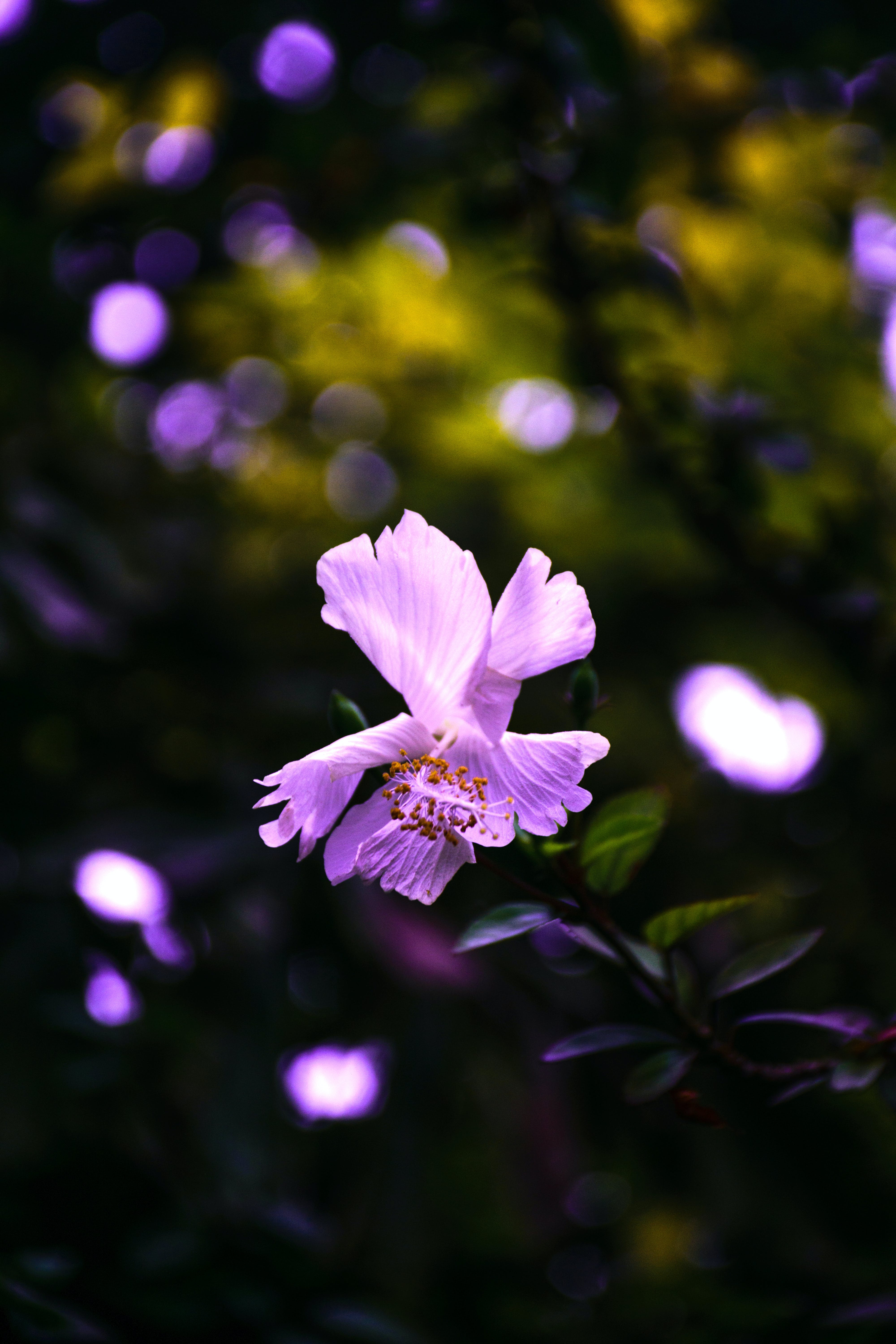 Purple Hibiscus Flower Selective-focus Photography