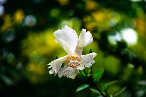 Free stock photo of africa, solitary white flower, White hibiscus, white hibiscus in garden