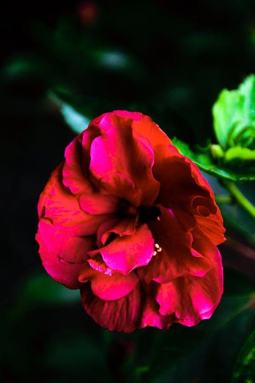 afrika, röd blomma, röd hibiskus