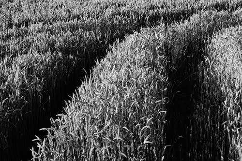 Grayscale Corn Fields during Daytime