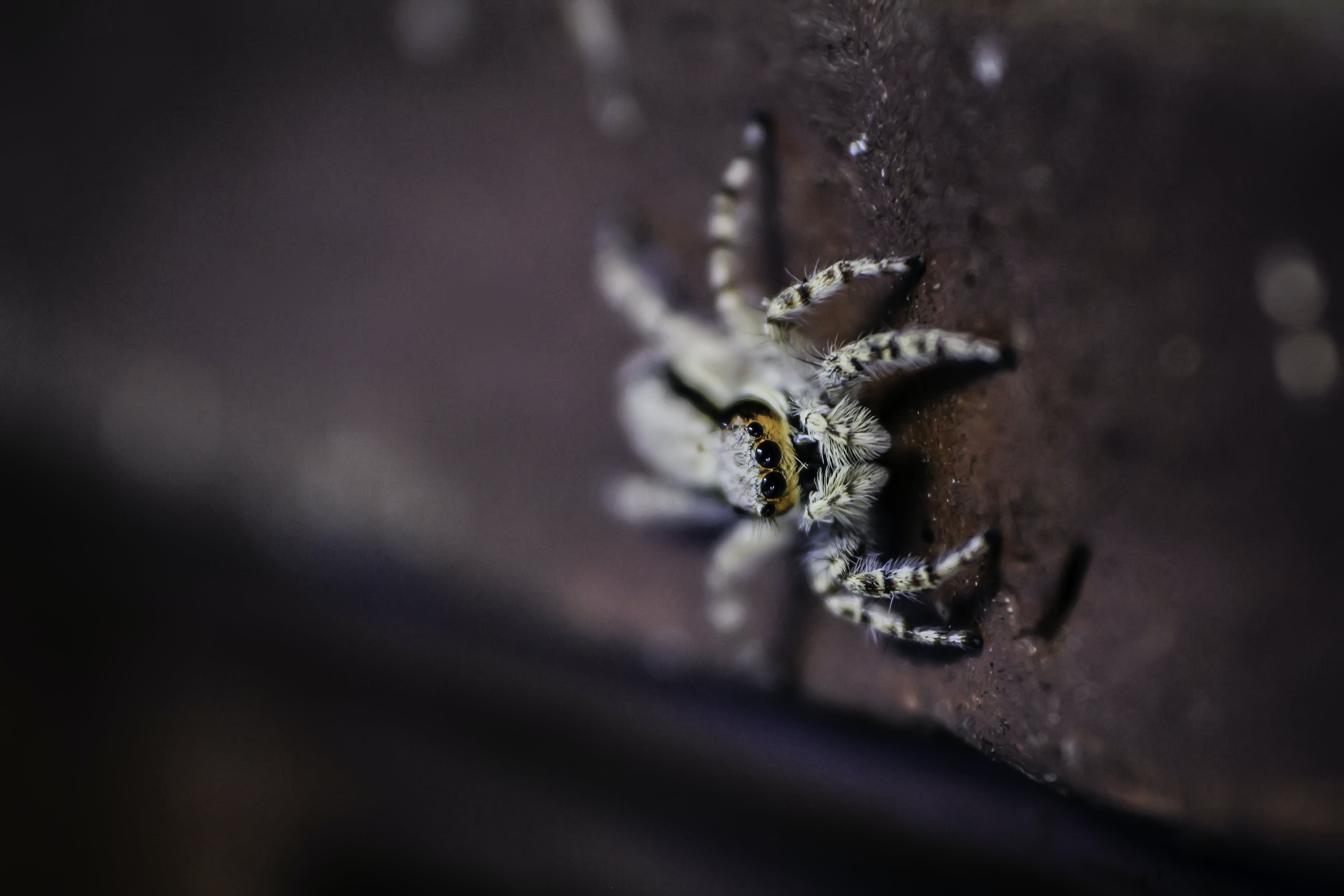 Brown Wall Jumping Spider