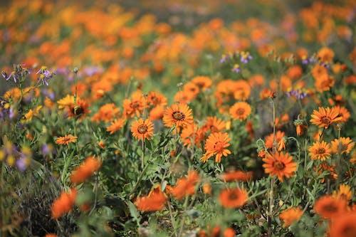Ingyenes stockfotó afrikai százszorszép, lila virág, namakwalandse daisy, narancssárga virág témában