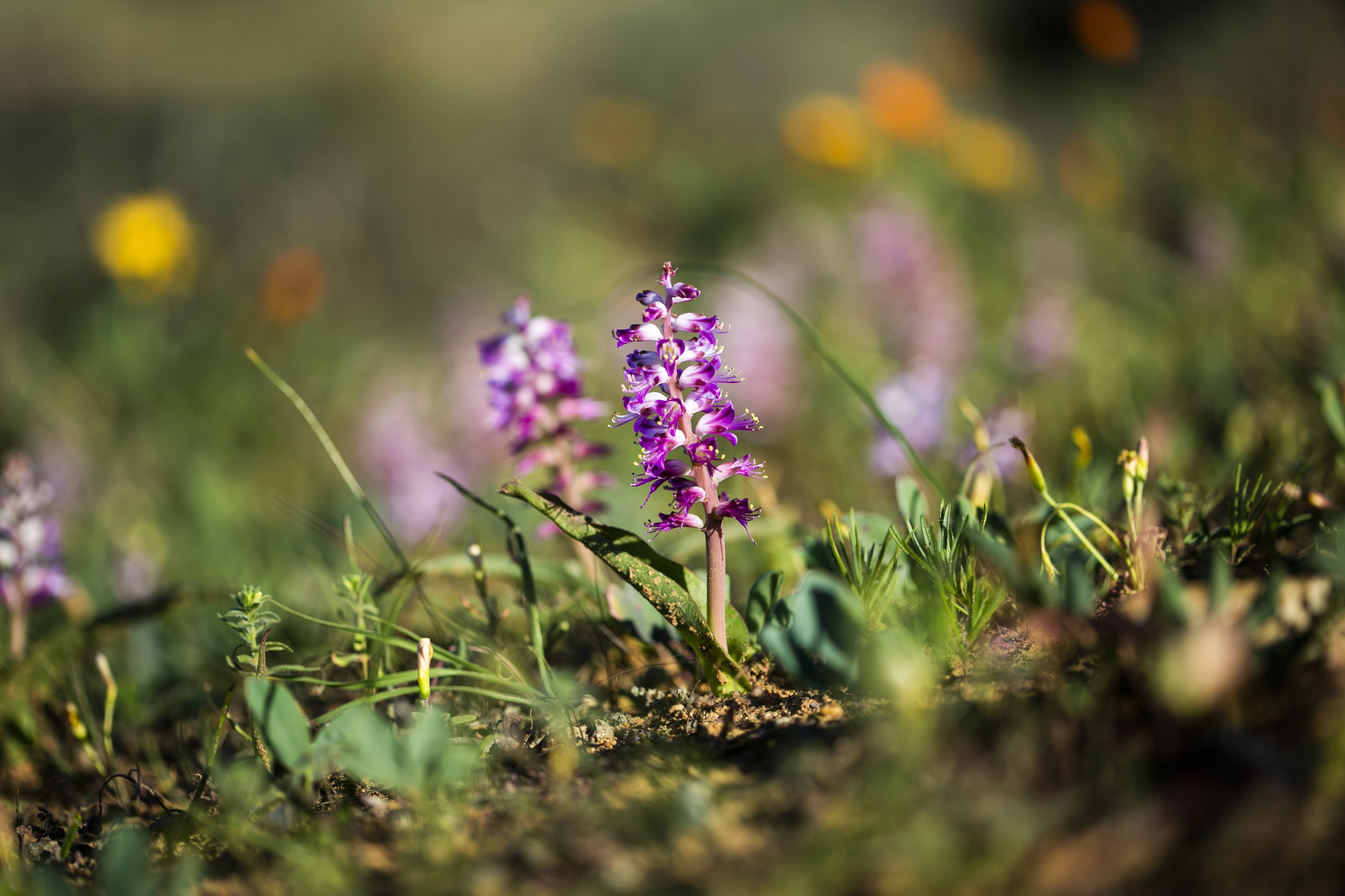 Free stock photo of violet, African violets, field of flowers, violet flowers