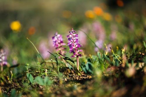 Ingyenes stockfotó a természet a legjobb, afrikai ibolya, ibolya, virágmező témában