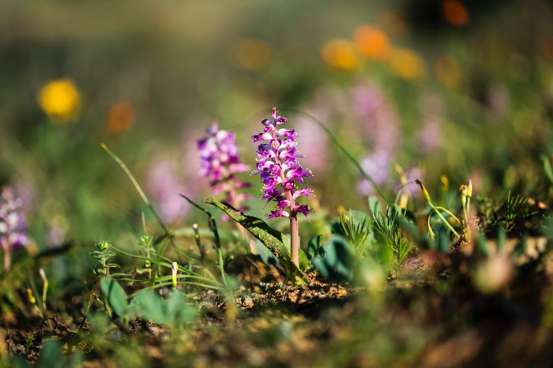 африканские фиалки, поле цветов, природа в лучшем виде
